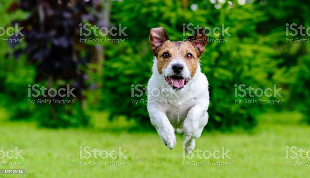 Perro saltando hacia adelante a jugar en césped verde de la cámara - foto de stock