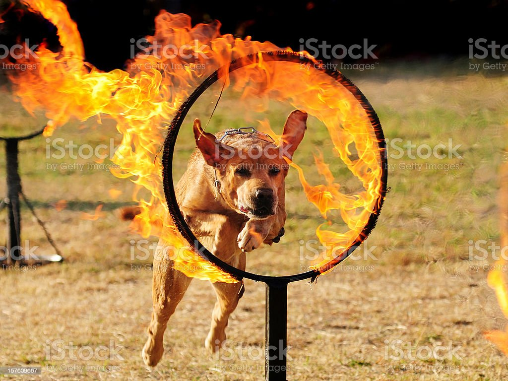 Dog jumping through a hoop of fire. stock photo