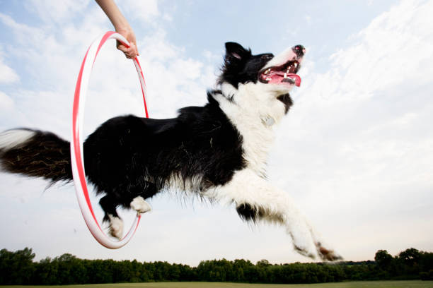 A dog jumping through a hoop A sheepdog jumping through a hoop animal tricks stock pictures, royalty-free photos & images