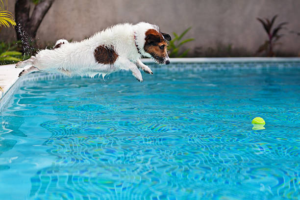 dog jumping to retrieve a ball in swimming pool - dog jumping stock photos and pictures