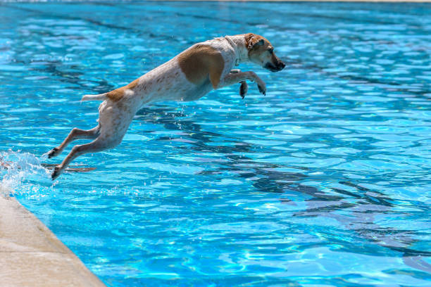 Dog jumping water pool picture id1124436096?b=1&k=6&m=1124436096&s=612x612&w=0&h=w437quopwpa8mdntprun426v1h5nd06emimqlyth4pc=