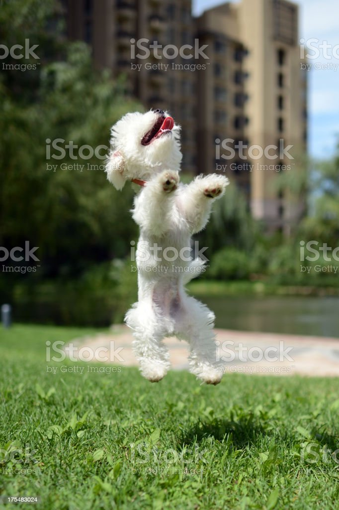 Dog Jumping - XXLarge royalty-free stock photo