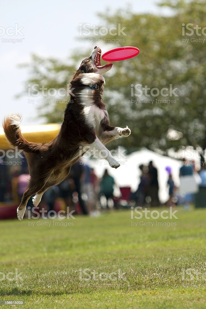 Dog Jumps And Opens Mouth Wide To Catch Frisbee royalty-free stock photo