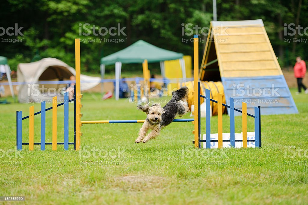Dog jumps in agility stock photo