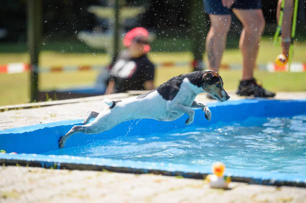 Dog jumps in the pool picture id672806768?b=1&k=6&m=672806768&s=612x612&w=0&h=g4te mvmvwy6mpwdlegr6jgihdloznj2iuck5ss3px0=