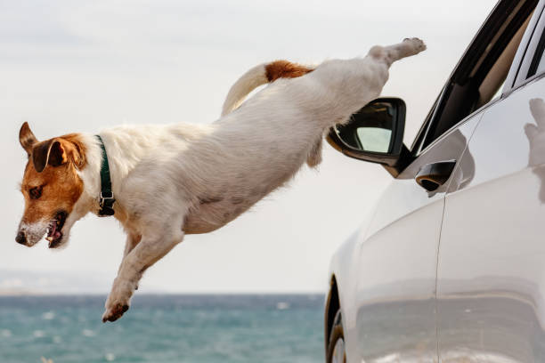 Dog jumps out of car window hurrying to beach and sea water picture id1149531648?b=1&k=6&m=1149531648&s=612x612&w=0&h=xc0346es5qr8sykwnxgmh5ym neyed6adlj 2ro5tzs=