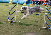 Dog jumps over a hurdle on an agility field