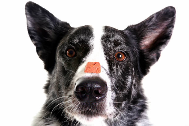 dog keeps food on her nose.close  front view stock photo