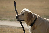 dog labrador retriever playing or biting a stick in a sunny day at the park