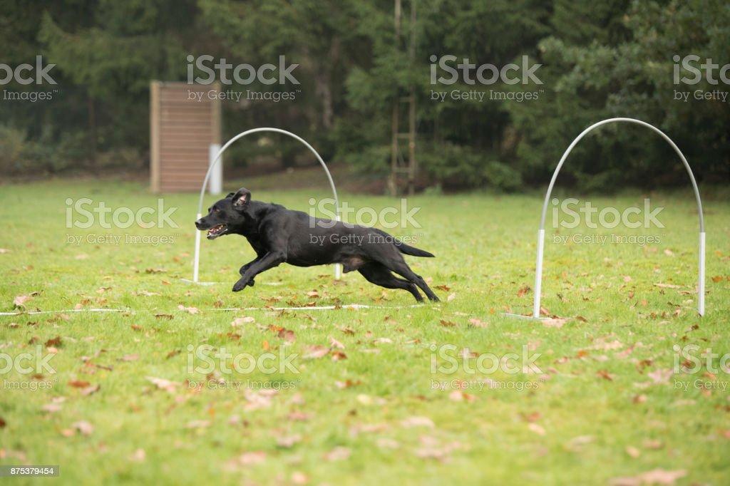 Dog, Labrador Retriever. running in agility training stock photo