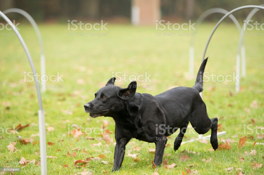 Dog, Labrador Retriever. running in hooper training stock photo