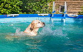 Dog white Labrador swims in the frame pool outdoors.
