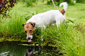 Thirsty Jack Russell Terrier playing near little pond