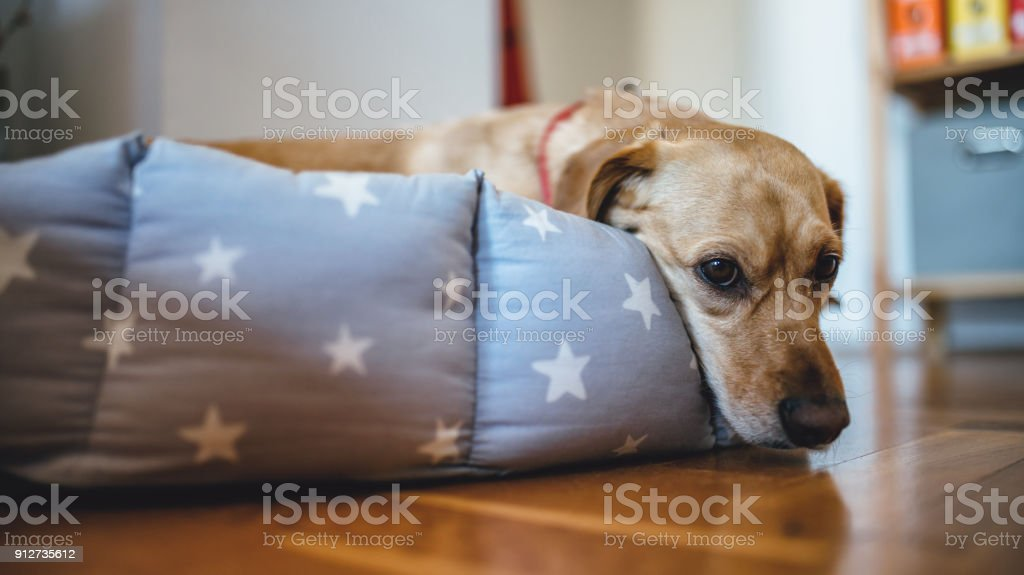 Dog laying down in his bed stock photo