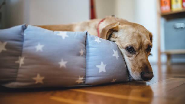 hund in seinem bett festlegung - katzen kissen stock-fotos und bilder