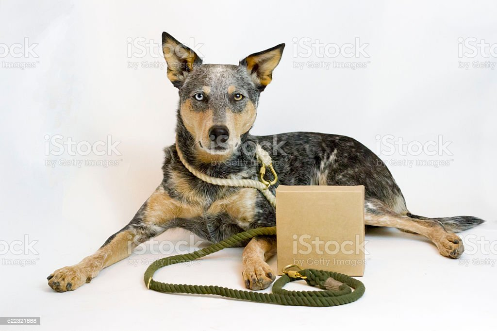 Dog laying down with lead and box stock photo