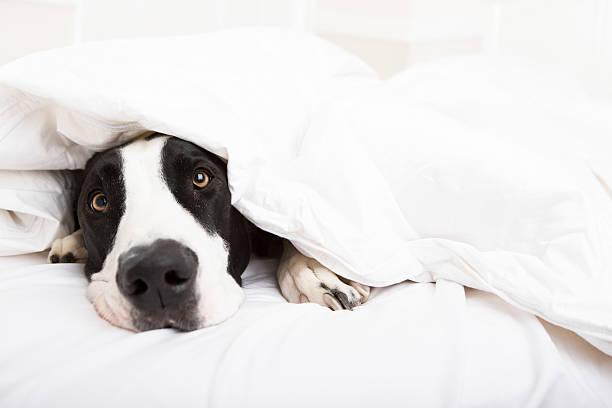 Dog laying in bed picture id187581052?b=1&k=6&m=187581052&s=612x612&w=0&h=2tr6icoxjwbmtdhn31xmtkujvdshb22xpvkm1opdxra=