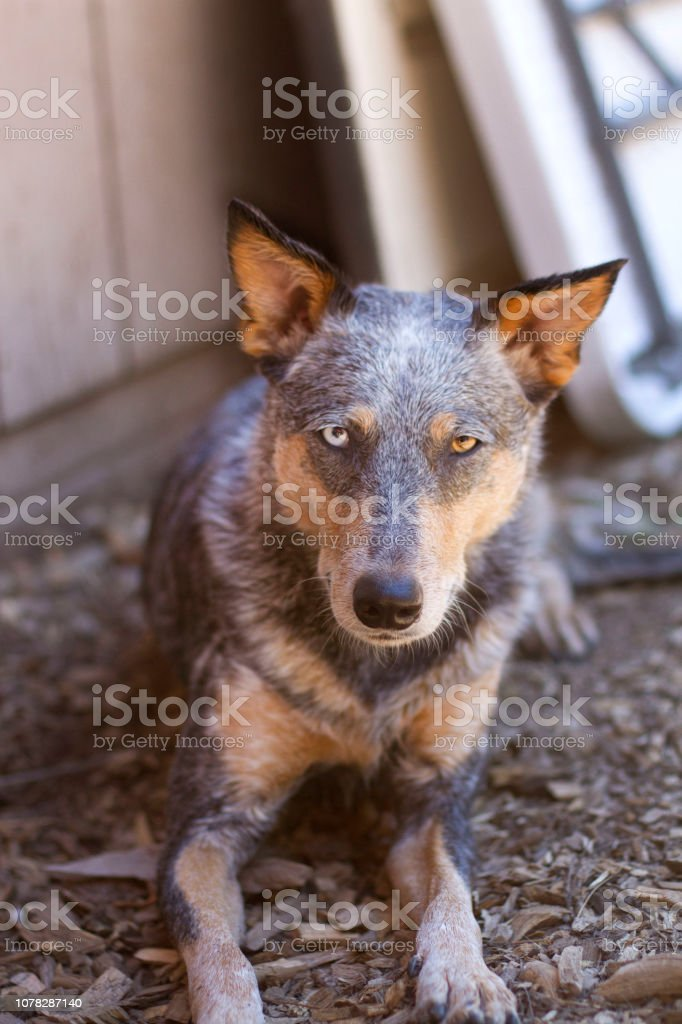 Dog Laying in Shade by House stock photo