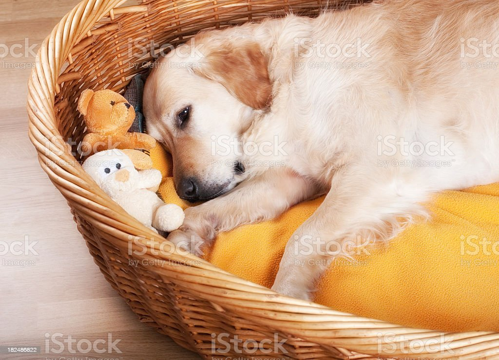 Dog laying in wicker bed with stuffed toys stock photo