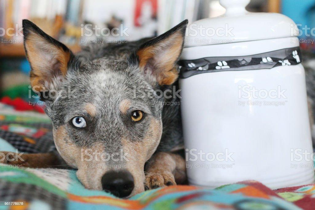 Dog Laying Next to Treat Jar stock photo