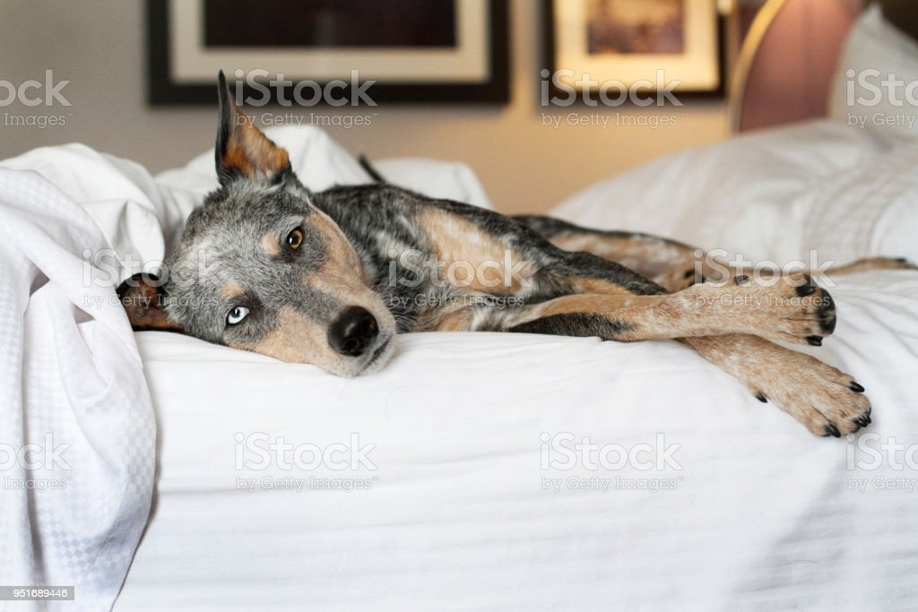 Dog laying on bed stock photo