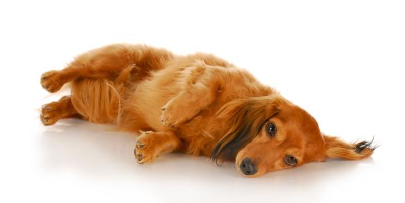 dog laying on side
