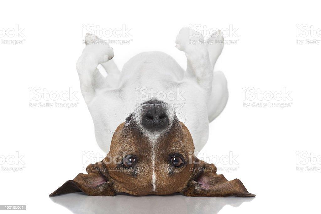 dog  laying upside down stock photo