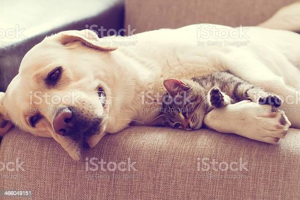 Dog laying with kitten picture id466049151?b=1&k=6&m=466049151&s=612x612&h=x6fowzmbfbxqjsblhufdkd htzzpaph1z0ahkpomwug=