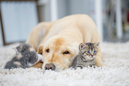 A golden retriever dog and two kittens are indoors in a living room. The dog is laying on the carpet, and one kitten is looking around curiously.