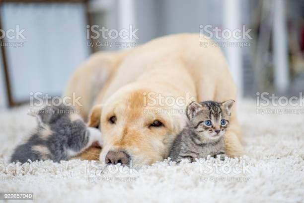 Dog laying with two kittens picture id922657040?b=1&k=6&m=922657040&s=612x612&h=y0zkcyzvlivmjbbtqjws7xwnx5asgfv7vjx zzh87zo=