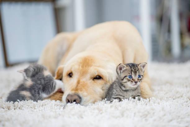 Dog laying with two kittens picture id922657040?b=1&k=6&m=922657040&s=612x612&w=0&h=uqb8x3damqibkrwhkwqtnu9pmdlgj5wsqcyikbjobiq=