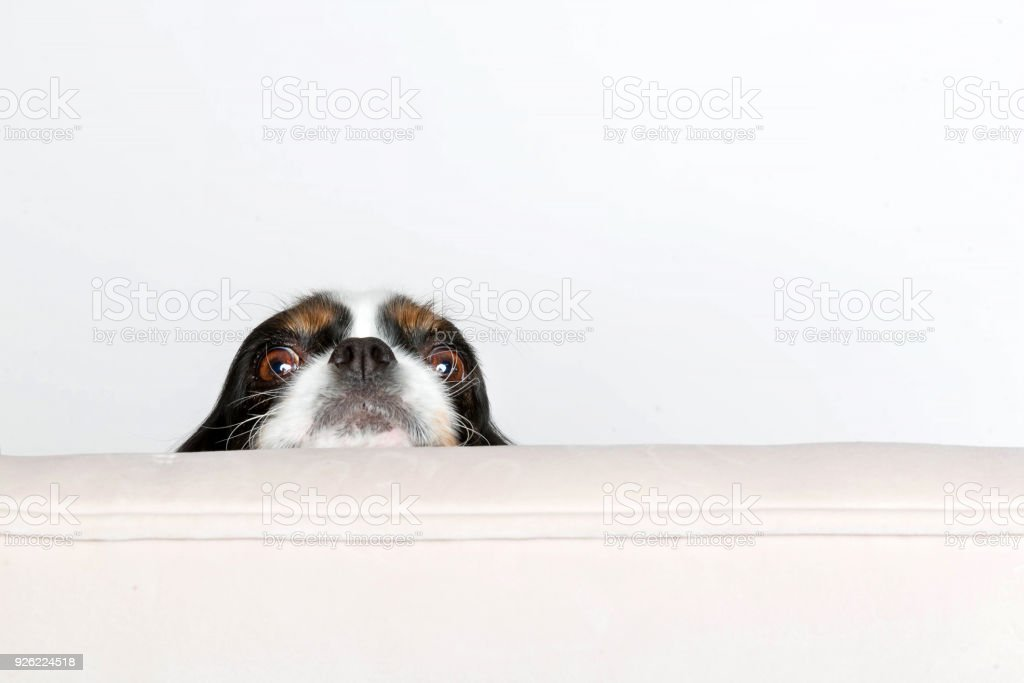 Dog leans head on the armchair stock photo
