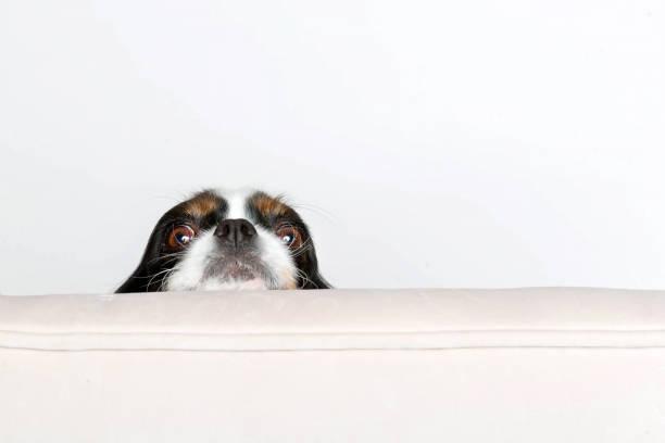 hundekopf lehnt sich auf dem sessel - peeping tom stock-fotos und bilder
