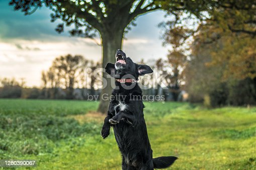 A black labrador leaping up to catch a thrown ball in the countryside