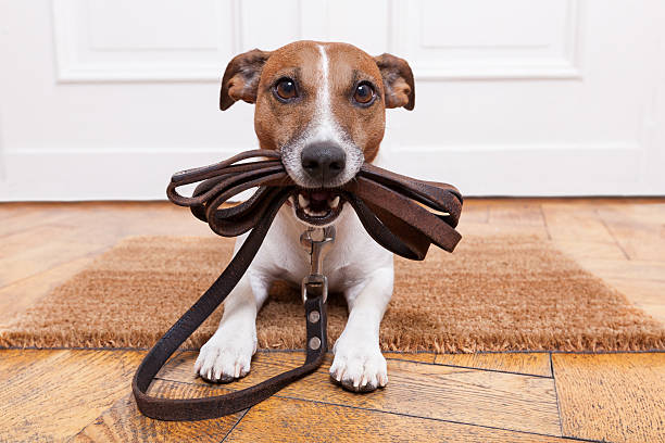 dog leather leash dog with leather leash waiting to go walkies collar stock pictures, royalty-free photos & images