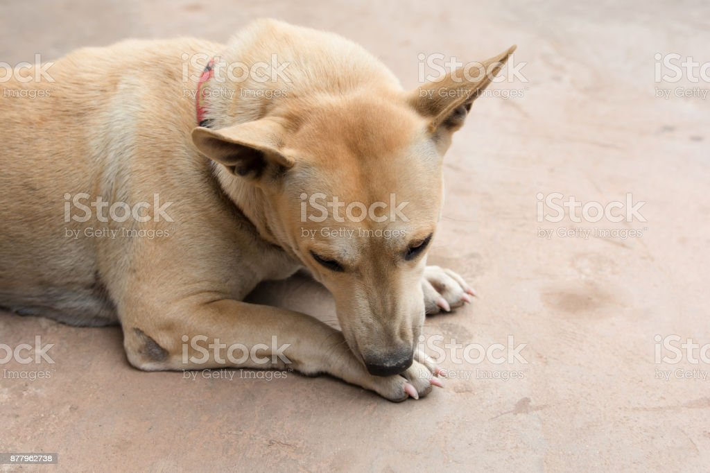 Dog licking his paw on cement floor stock photo