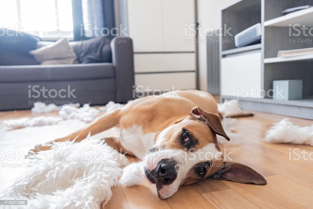 Funny staffordshire terrier and destroyed homeware, untrained dog...