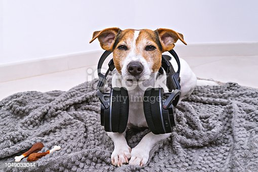 Adorable jack russell dog lies in wireless headphones on cozy blanket. Dog is afraid of loud noises concept stock photo