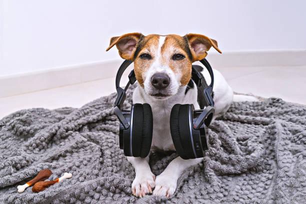 Dog lies in wireless headphones on blanket picture id1049033044?b=1&k=6&m=1049033044&s=612x612&w=0&h=r2mrol5yuhaah31p sazv9ck5iucv8mimrknxiioyns=