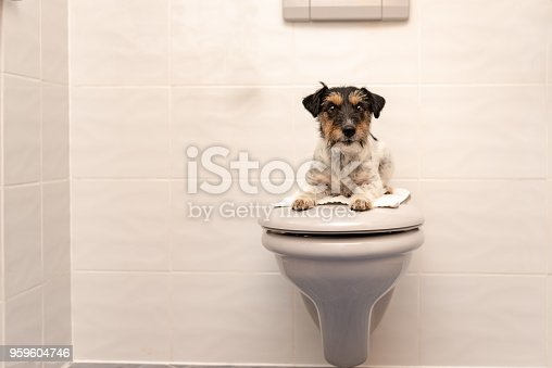 Dog lies on the toilet lid and guards Jack Russell Terrier 3 years old