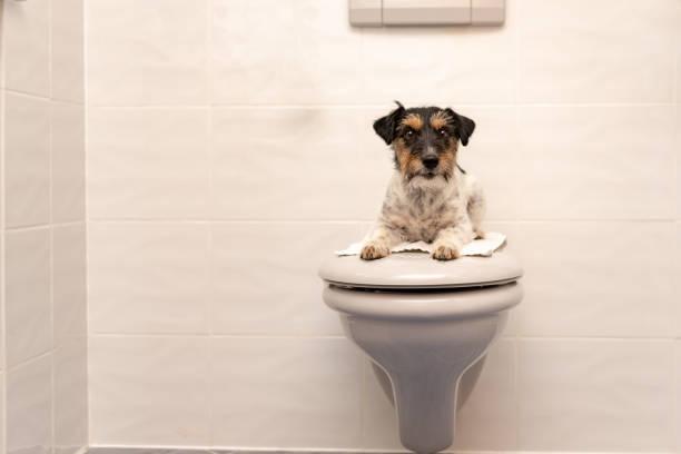 hund liegt auf dem toilettendeckel und wachen jack russell terrier 3 jahre alt - durchfall beim hund stock-fotos und bilder