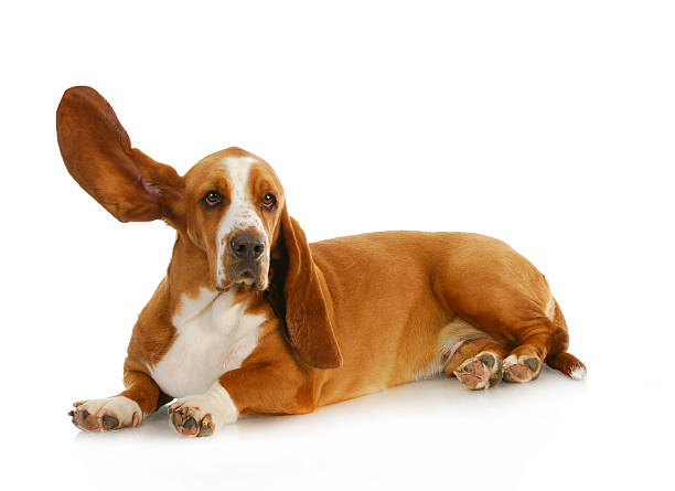 dog listening - one animal stock photos and pictures