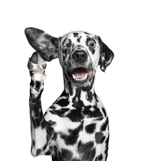 dog listens attentively to his owner stock photo