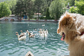 Dog looking at ducks floating on the lake.