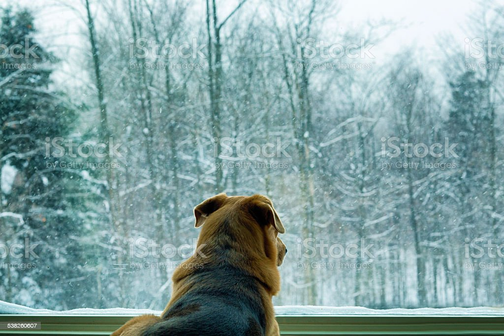 Dog looking at snowfall through window rear view stock photo