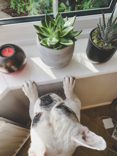 French bulldog with paws on the window sill with dangers around: succulent plants, candle, heater, cords on floor. dog proof your house
