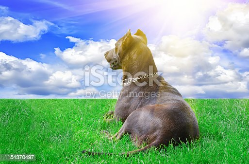 Dog looking at the horizon, lying on the grass in the sunlight