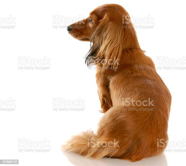 Dog looking away from viewer picture id97866152?b=1&k=6&m=97866152&s=612x612&h=vfjvbkbjpuemc84bjod0kcy4c9vo1o2j7agavhso6 a=