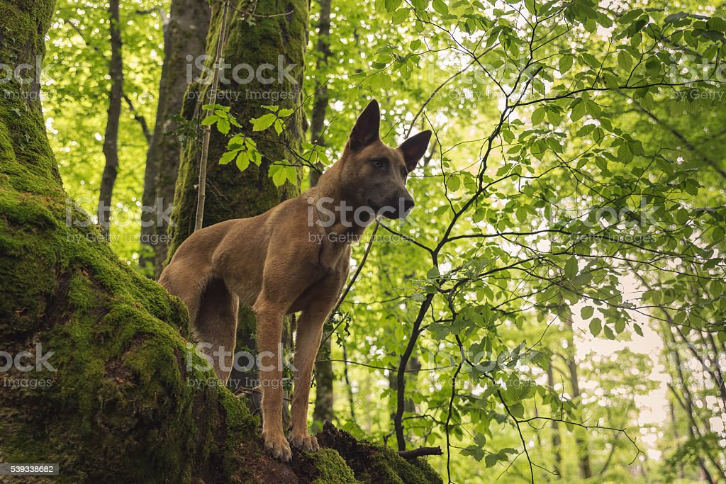 Dog looking from the top of a tree stock photo