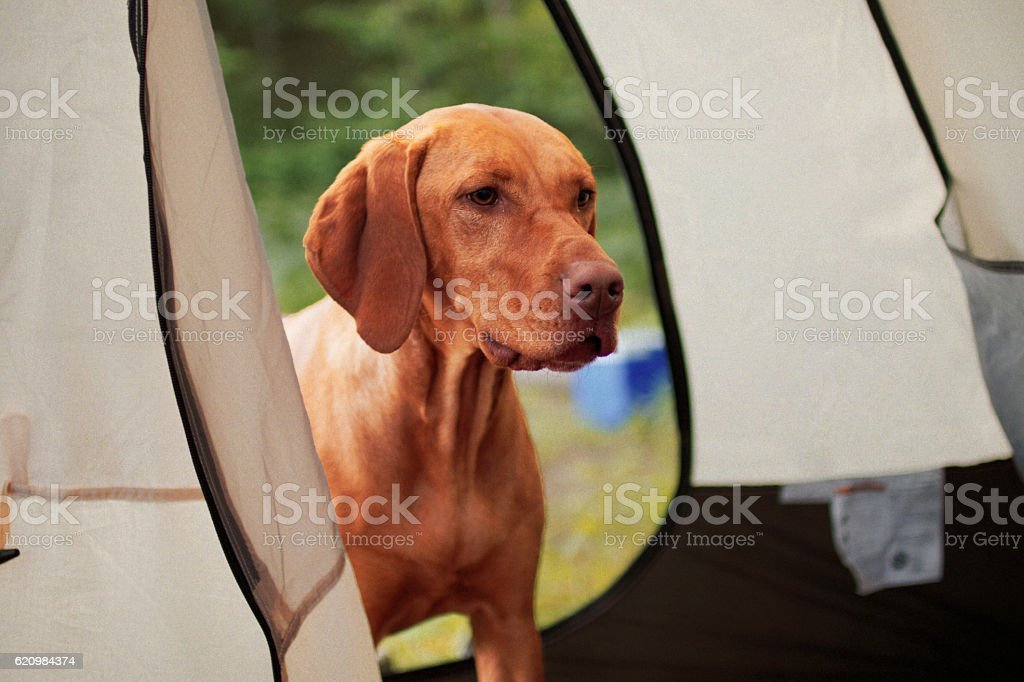 Dog Looking in Tent foto royalty-free